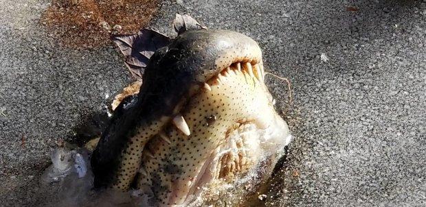 Алігатори вмерзли в лід через морози - стирчать одні носи: фото