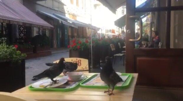 У Львові голодні голуби на літній терасі влаштували банкет з недоїдків - налетіли на тарілки, як шуліки