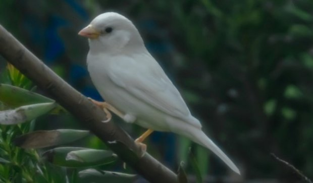 В Австралії виявили горобця-альбіноса