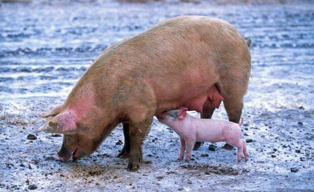 Свинья, фото: Pxhere