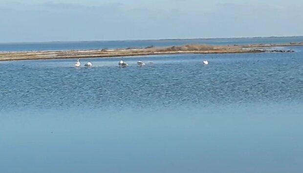 Лебеді, фото: скріншот з відео