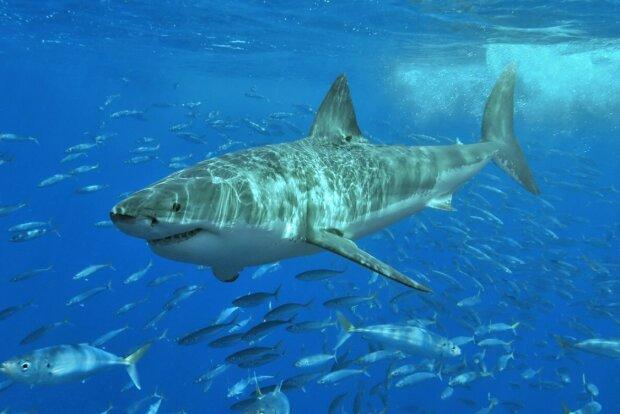 Біла акула, фото: nat-geo