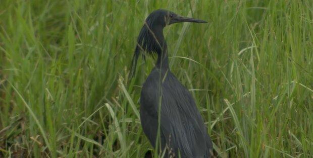 Чорний навіть дзьоб - на Закарпатті оселився рідкісний птах, живе в горах і нарізає кола над селами
