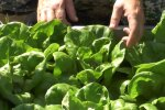 Выращивание салата, скриншот: YouTube