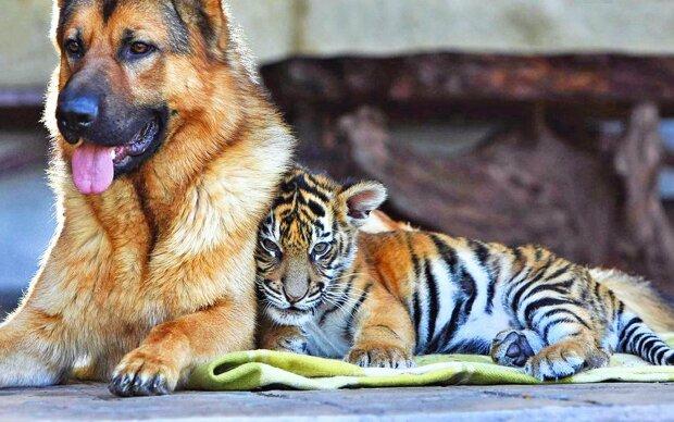 Фермер перетворив собаку на тигра: вигадав унікальний спосіб відлякувати мавп