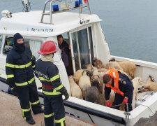 Спасение овец, USA News Hub