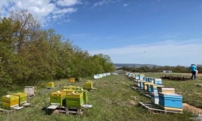 Пьяные пчелы убивают трезвых – на Волыни пасечники бьют тревогу из-за новичка-пчеловода