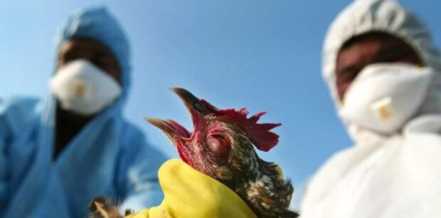 Птичий грипп: болезнь, симптомы, лечение, 24tv.ua