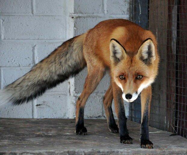 """""""І куди їй зранку бігти?"""": лисиця вирішила прогулятися вулицями Запоріжжя, - яскраві кадри"""
