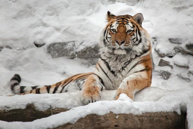 Амурський тигр, ФотоКто