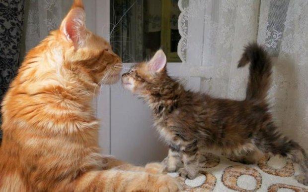 Новий рекорд: в Україні знайшли найбільшого кота