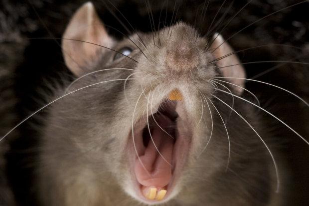Не только чума: крыс уличили в распространении нового заболевания