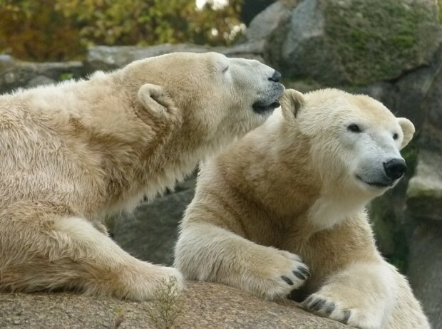 Белые медведи, фото: Pixabay