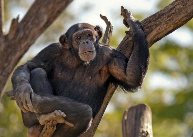 Теорія Дарвіна у всій красі: в Україні знайшли мавпу, яка шокувала схожістю на людину