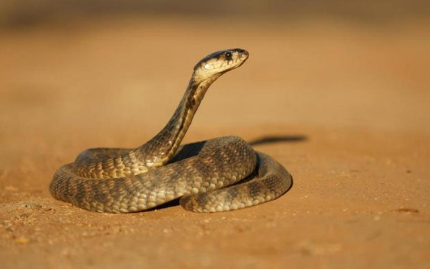 Гігантська кобра vs пітон: нещадний поєдинок потрапив у мережу
