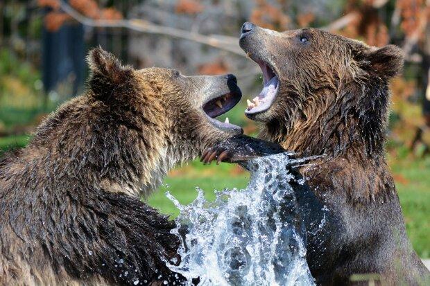 ведмеді, pxhere