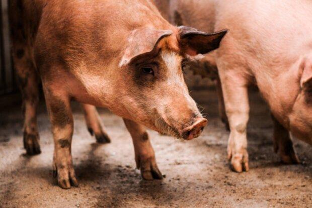 Свині, фото freepik
