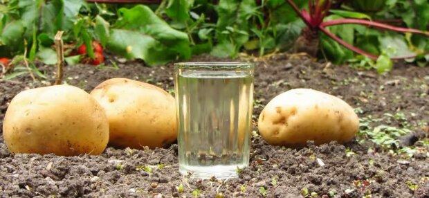 Вино из картошки, фото: скриншот из видео