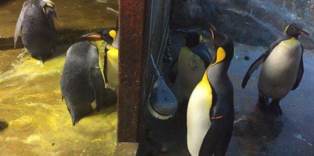 Дерзкое похищение ребенка - пингвины-геи украли малыша у влюбленной пары соотечественников