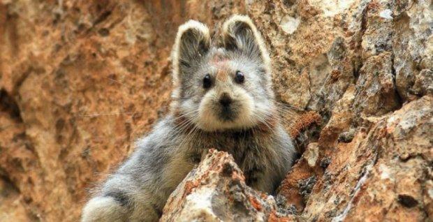 У Китаї вперше за 20 років помічений «чарівний кролик»