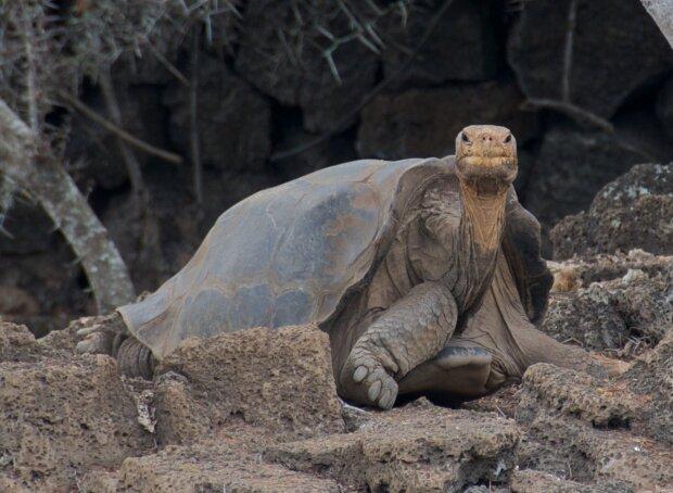 Абінгдонска слонова черепаха, фото: pikabu