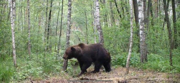 """Чорнобиль заполонили ведмеді, рев на всю зону відчуження: """"Вперше після аварії"""""""