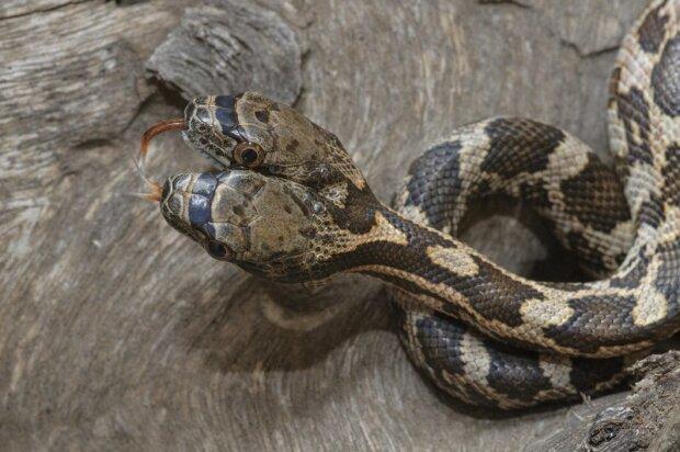 двоголова змія