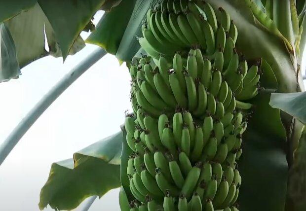 Скрин, видео YouTube банан