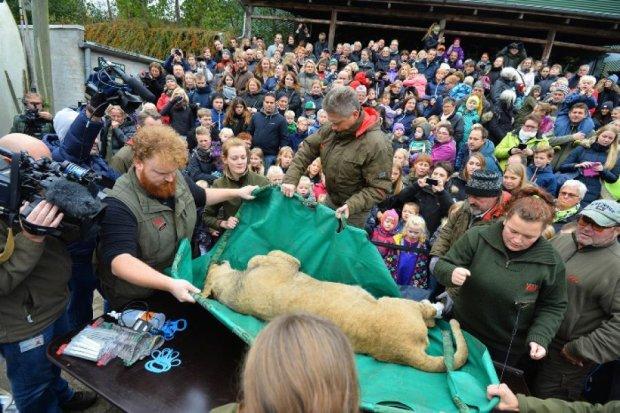 Тіло лева розітнули на очах у сотень дітей