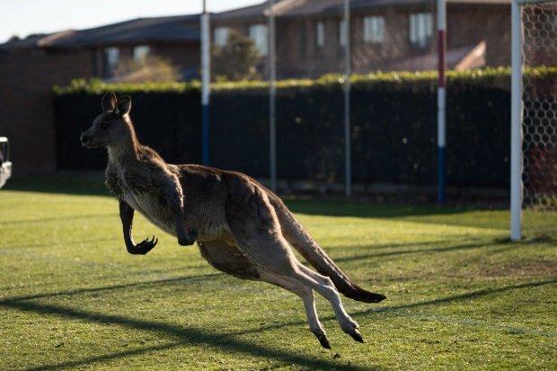 """В Австралії помер найвідоміший у світі """"кенгуру-бодібілдер"""": був загадкою еволюції"""