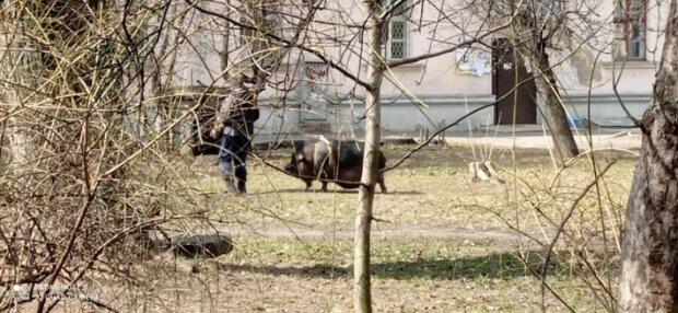 Киянин вигуляв свиню на повідку, скріншот відео