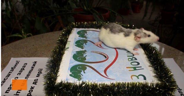 """Долю харків'ян у новому році вирішив щур: хто буде """"в шоколаді"""", а хто ризикує втратити все"""