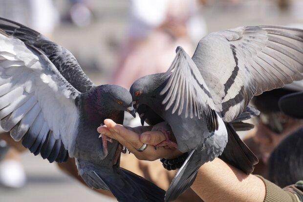 З Франківська різко зникнуть голуби: у Марцінківа озвучили дивний вердикт