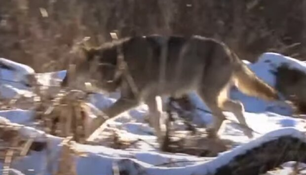 Волк, кадр из репортажа Спецкор: YouTube