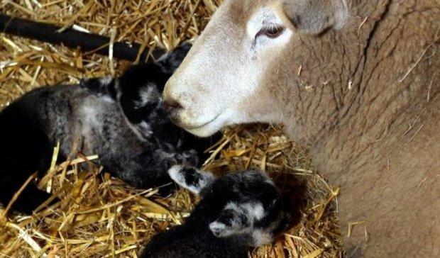 Девственная овца родила ягнят-близнецов