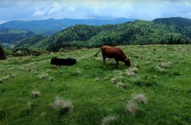 корови, скріншот з відео