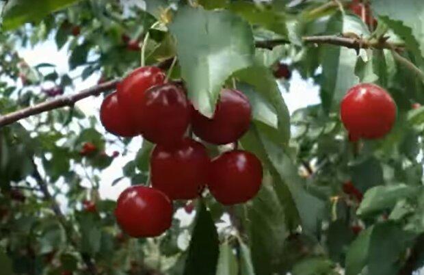 Вишневий сад, скріншот: YouTube