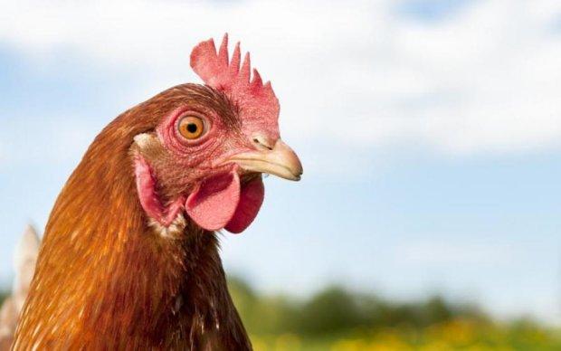 Лайфхак від фермера: як домашню курку від коліс убезпечили