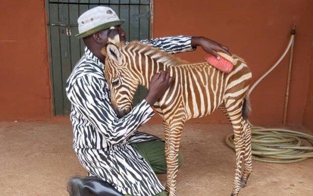 Смугастий нянь, або як осиротіле дитинча зебри врятували від голодних левів