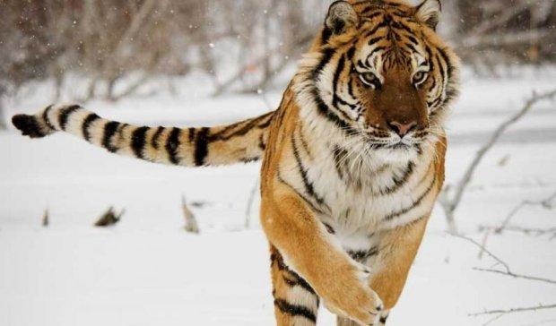 Амурські тигри влаштували полювання на безпілотники