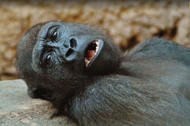 Мавпа, фото pxhere