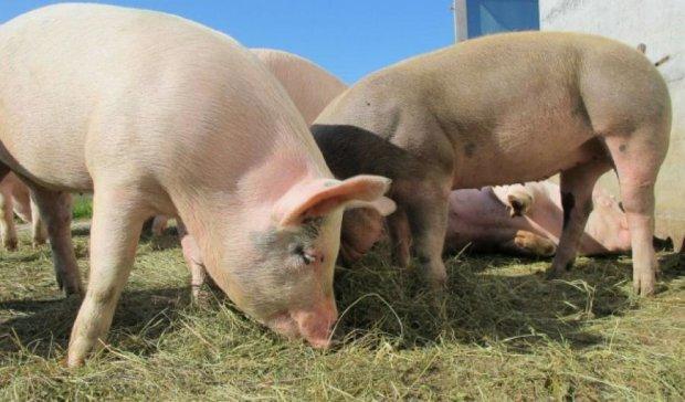 Вчені перетворять свиней в невичерпне джерело донорських органів