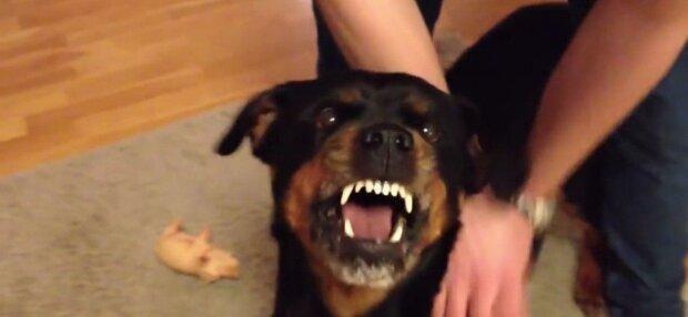 У Хмельницькому сусідський пес ледь не розірвав переляканого малюка - хотів заспівати за цукерку