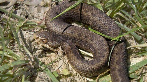 Змія під капотом: отруйна тварюка атакувала одесита в несподіваному місці, кадри нажахали мережу