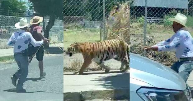 Тигроловы — мужчины поймали дикого зверя с помощью лассо и... стула