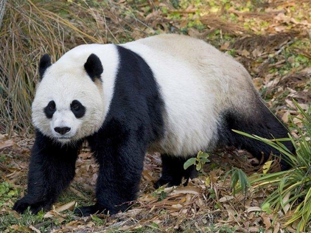 Покусанный пандой китаец отсудил 83 тысячи долларов