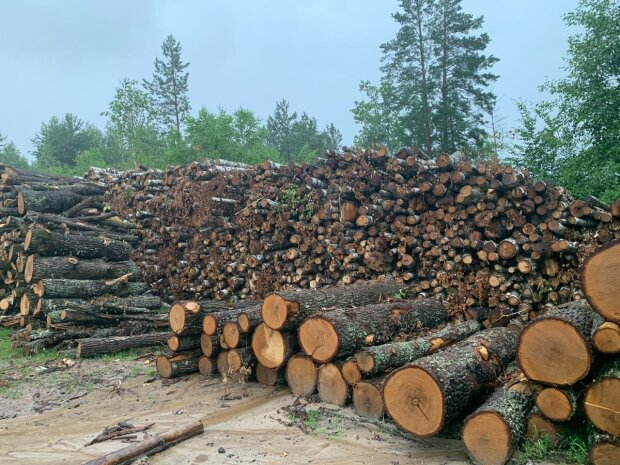 вырубка лесов, древесина, кругляк \\ фото Госэкоинспекция