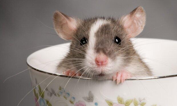 """Ученые сделали из обычных крыс водителей, это открытие изменит все: """"Оказались умнее, чем..."""""""