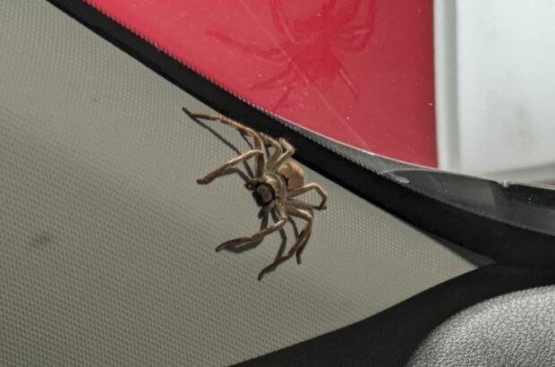 Павуки в авто Емми, фото: Cosi Andrew Costello