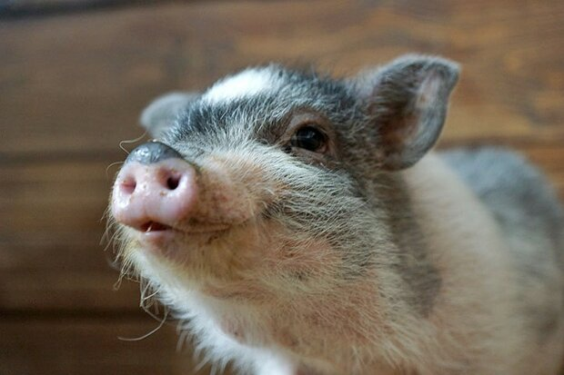 Російська поліція призве на службу свиней: незабаром вийдуть в патруль
